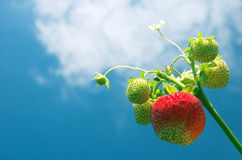 Growing to the sun!. One red ripe strawberry and some others green royalty free stock photography