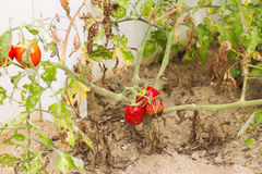 Growing tomato. With dry leaves Royalty Free Stock Photos