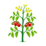 Growing tomato plant isolated on white vector Stock Photos