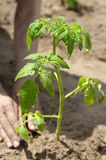Growing tomato sprout, planting Stock Photos