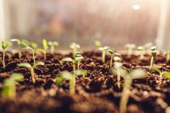Growing tomato sprouts at home by window. Spring preparation. Agriculture and farming concept. Organic farm stock photo
