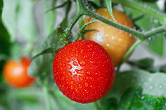 Growing tomatoes Royalty Free Stock Photo