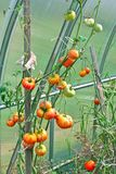 Growing tomatoes Royalty Free Stock Images