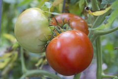 Growing Tomatoes Stock Images
