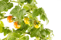 Growing tomatoes. Several tomato fruits growing on a bush with green leaves, white background Royalty Free Stock Image