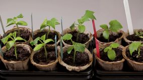 Growing tomatoes and cucumbers plants indoors before season. Beautiful nature backgrounds stock video