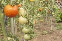 Growing tomatoes on a domestic garden. Wet tomatoes in the morning sun. Overnight rain. Ripening vegetables in a home garden. Stock Image