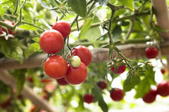 Growing tomatoes. In the garden Stock Image