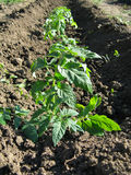 Growing tomatoes in the garden bed Stock Photo