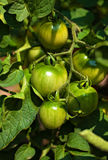 Growing tomatoes Stock Image
