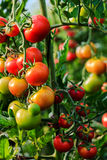 Growing tomatoes in a greenhouse Stock Image