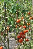 Growing tomatoes in greenhouse Royalty Free Stock Images