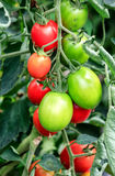 Growing tomatoes in a greenhouse. Red and green growing tomatoes in a greenhouse Stock Photos
