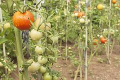 Growing Tomatoes On A Domestic Garden. Wet Tomatoes In The Morning Sun. Overnight Rain. Ripening Vegetables In A Home Garden. Stock Photos
