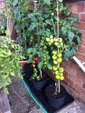 Growing tomatoes outside. Outdoor tomato plants with ripening fruit Royalty Free Stock Photography