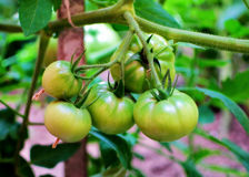 Growing tomatoes. Young organic tomatoes growing on branch in the garden Stock Photo