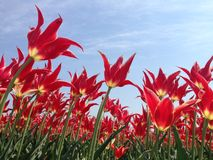 Growing towards the sunlight. Red tulips reaching out to the sun's rays royalty free stock image