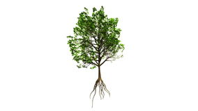 Growing Tree (Color Version). High Quality Render of a growing tree on white background. The branches are gently swaying in the wind. Alpha version of this clip