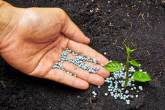 Growing a tree. A hand giving fertilizer to a young plant / planting tree stock image