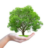 Growing tree in hand Royalty Free Stock Photography