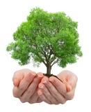 Growing tree in hands Stock Photo