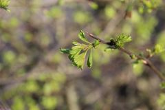 Growing Tree Leaves. On blurred foliage background stock image