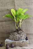 Growing tree with roots Stock Image