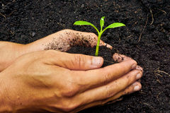 Growing a tree. Two hands holding, caring, and growing a tree royalty free stock photos
