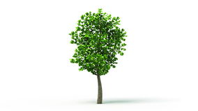 Growing Tree on White background, isolated object. Symbol of Growth. HD 1080.