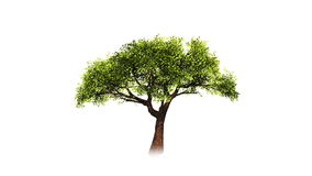 Growing tree on white. stock footage