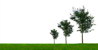 Growing Trees. Growth concept with three growing trees of different size. On white background Stock Images