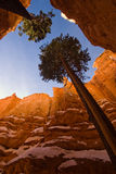 The growing trees between Hoodoos. The trees are growing between the very high Hoodoos. It's very interesting that the tree can grow so high even with the high Royalty Free Stock Images