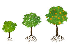 Growing trees with roots Royalty Free Stock Images