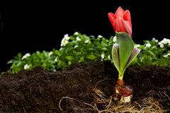 Growing Tulip. The dirt is moved to display a bulb along with a red tulip stock photography