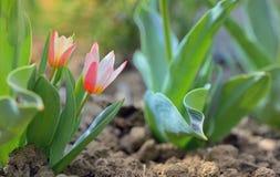 Growing tulip plant Stock Image