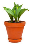 Growing tulips in a pot Stock Photos