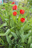 Growing tulips. Red on a flower bed Stock Photo