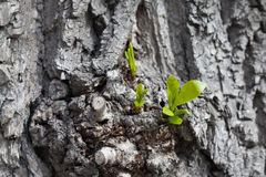 Growing up concept. Old poplar tree with young shoot and green leaves. Spring scene gray  trunk. soft focus Stock Photo