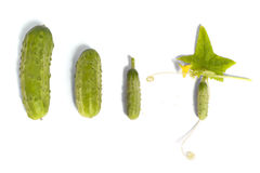 Growing Up Cucumber royalty free stock images