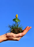 Growing Up in a Hand. A yellow flower growing in a womans hand Royalty Free Stock Image