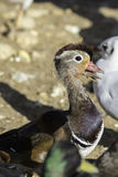 Growing up - Mandarin duck with mouth full of mud Stock Photo
