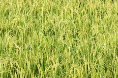 Growing up rice plant in rice field. Royalty Free Stock Image