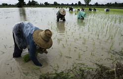 Growing urgency. Farmers plant rice in the rain hastily, Nakhon Ratchasima, Thailand Royalty Free Stock Photo