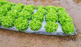 Growing vegetable garden Royalty Free Stock Photo