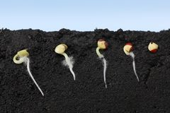 Free Growing Vegetable Seeds In Soil Royalty Free Stock Photography - 140269477