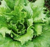Growing vegetable Royalty Free Stock Image
