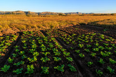 Growing vegetables in an African landscape. At sunrise Stock Photo