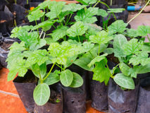 Growing vegetables in the bags. Stock Image