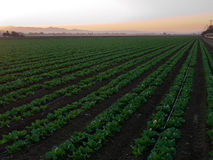Growing vegetables in California. Huge field growing green lettuce with modern drip irrigation. The state's 81,500 farms and ranches produced a record $43.5 Stock Photo