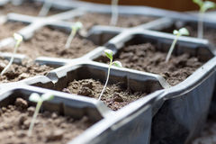 Growing vegetables in cell trays Royalty Free Stock Images